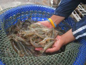 Dutch Diversify Into Shrimp Genetics