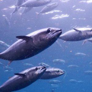 Full Bluefin Tuna Farm Shares Rise As Fish Stocks Dwindle