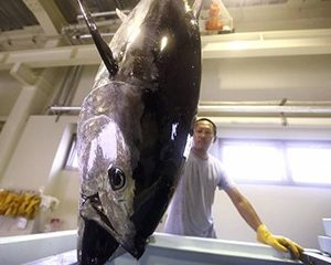Japanese Closed-cycle Bluefin Farms To Produce Commercial Volumes