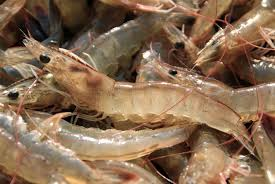 Indoor Shrimp Startup To Buy Waste Heat From Maine Power Plant