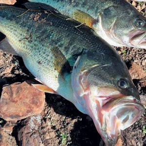 Bass: An Easy-to-breed Alternative In Aquaculture