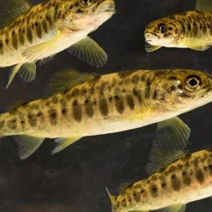 Project To Analyze Water Quality In Juvenile Salmon Hatcheries