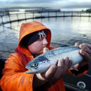 Farmed Salmon Is Thriving