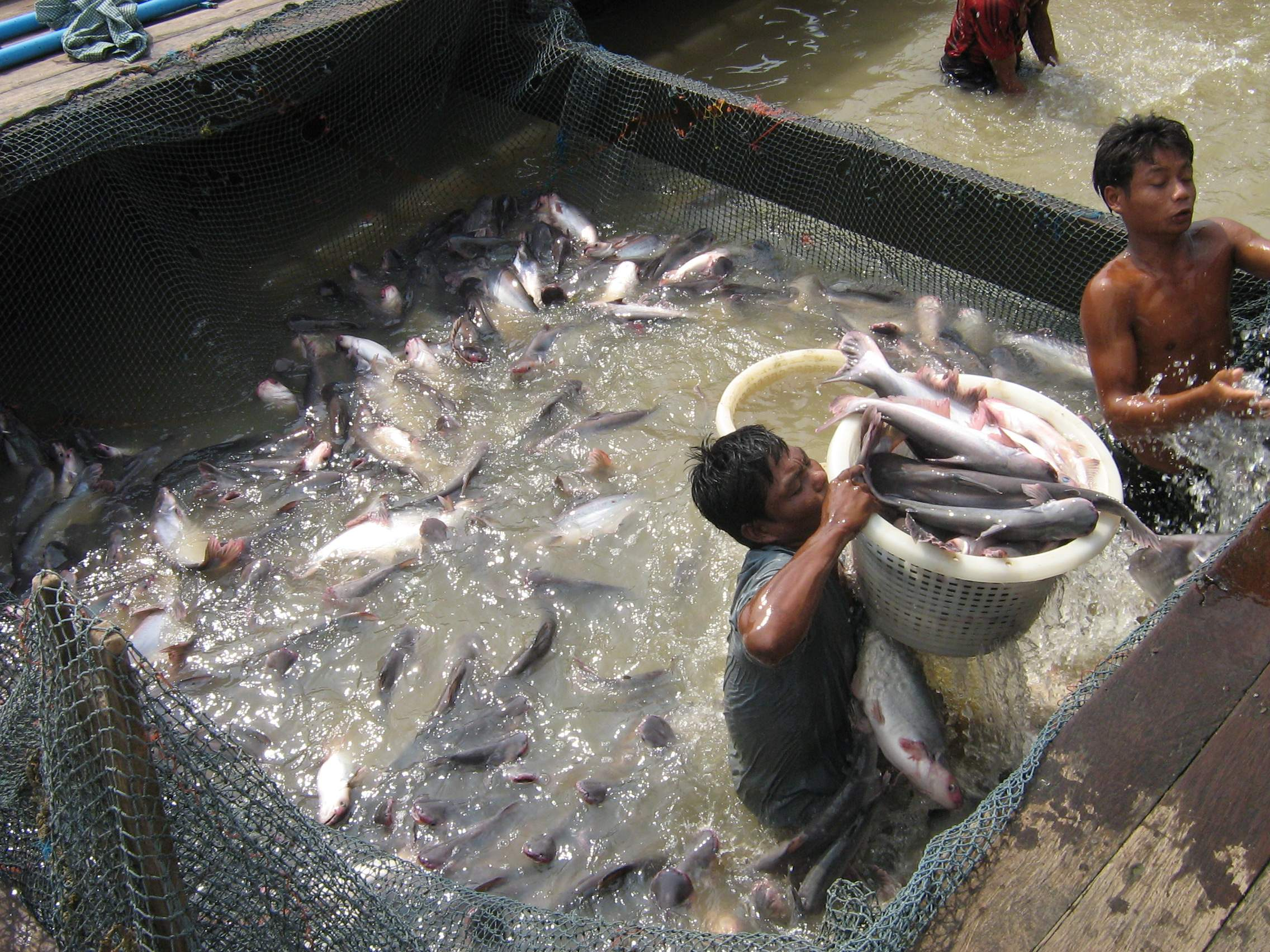 Workers Handle Farmed Fish