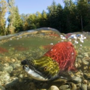 Ottawa Studies Risk Of Pathogen Transfers To Wild Sockeye From Fish Farms In Canada