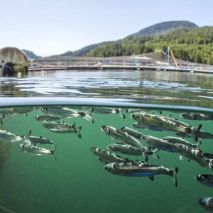 Fish Farms A Viral Hotspot For Infection Of B.C.'s Wild Salmon, New Study Finds