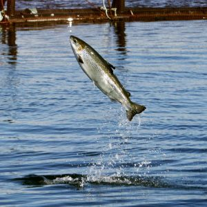 Aquaculture Project Could Lift Status Of US Salmon Farming