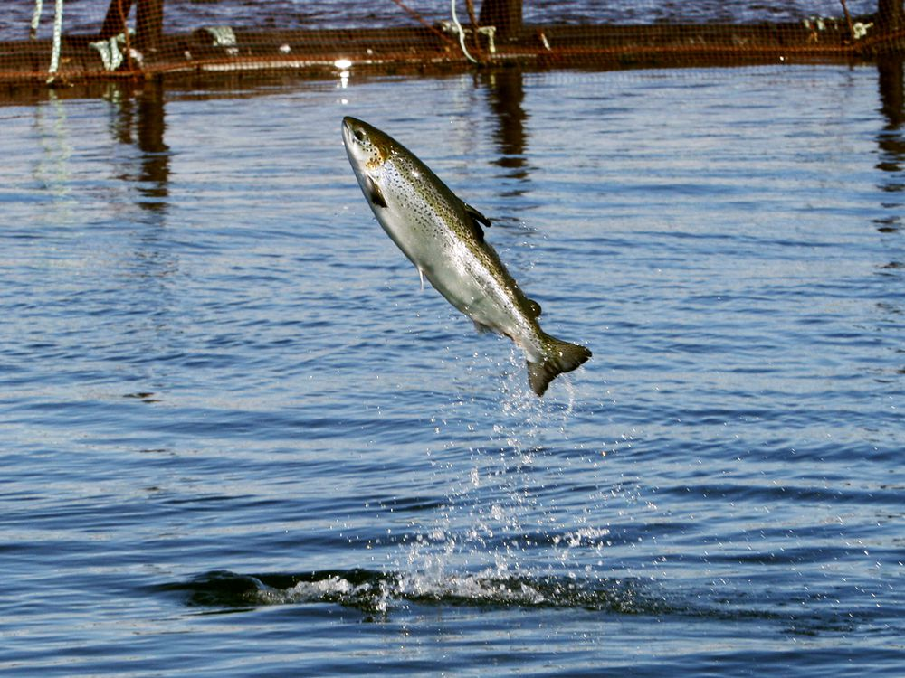 FILE - In This Oct. 12, 2008 File Photo, An Atlantic Salmon Leaps While Swimming Inside A Farm Pen Near Eastport, Maine. An Informational Meeting Is Planned On Wednesday, Feb. 21, 2018, For A Proposed Salmon Farm To Be Built In Belfast, Which Would Be One The Biggest Fish Growing Facilities In The World. (AP Photo/Robert F. Bukaty, File)