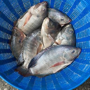 MSD Animal Health Calls For Tilapia Science Award Submissions