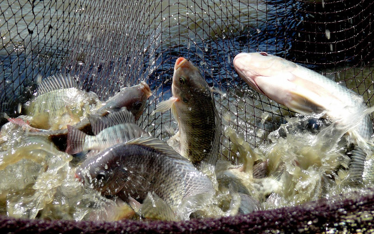 Tilapia Fish Attracts Farmers In Odisha