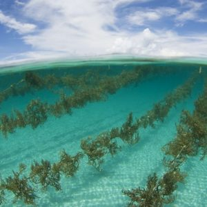 College Of Atlantic Launches Partnership With Largest U.S. Seaweed Farm
