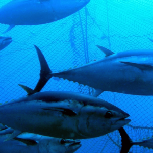 Scientists Are Taming Endangered Atlantic Bluefin Tuna For Our Sushi