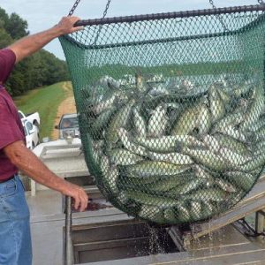 Catfish Supplies Cause Prices, Sales To Flounder