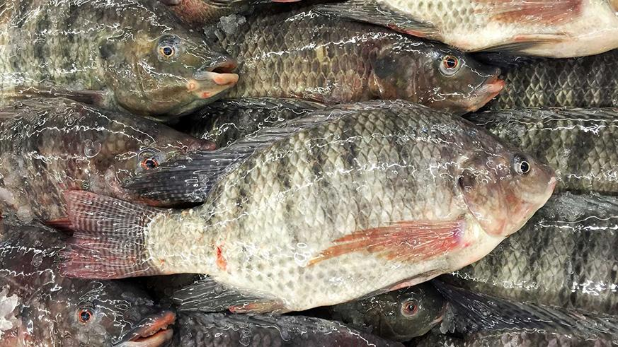 How A Chinese Fish Farming Workshop Could Bolster Aquaculture In Egypt