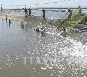 An Giang Develops Giant River Prawn Farming Area