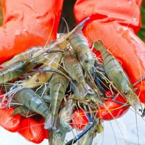 First Female Shrimp Genome From NRGene & Enzootic
