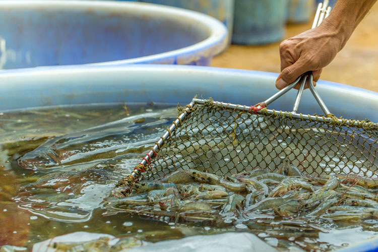 "Farmed Shrimp Imported To The EU ""as Safe As Any Other Seafood Product"""