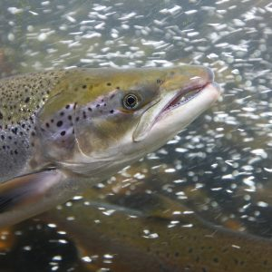 Canada Takes Steps To Phase Out Atlantic Salmon Fish Farms