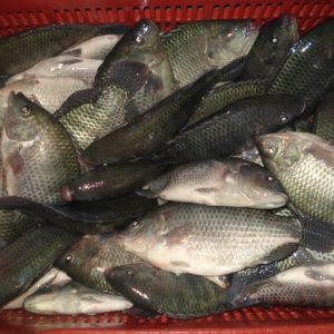 Report Of Workshop On 'Prompting The Use Of Vaccines In Tilapia Aquaculture' Held In Vietnam.