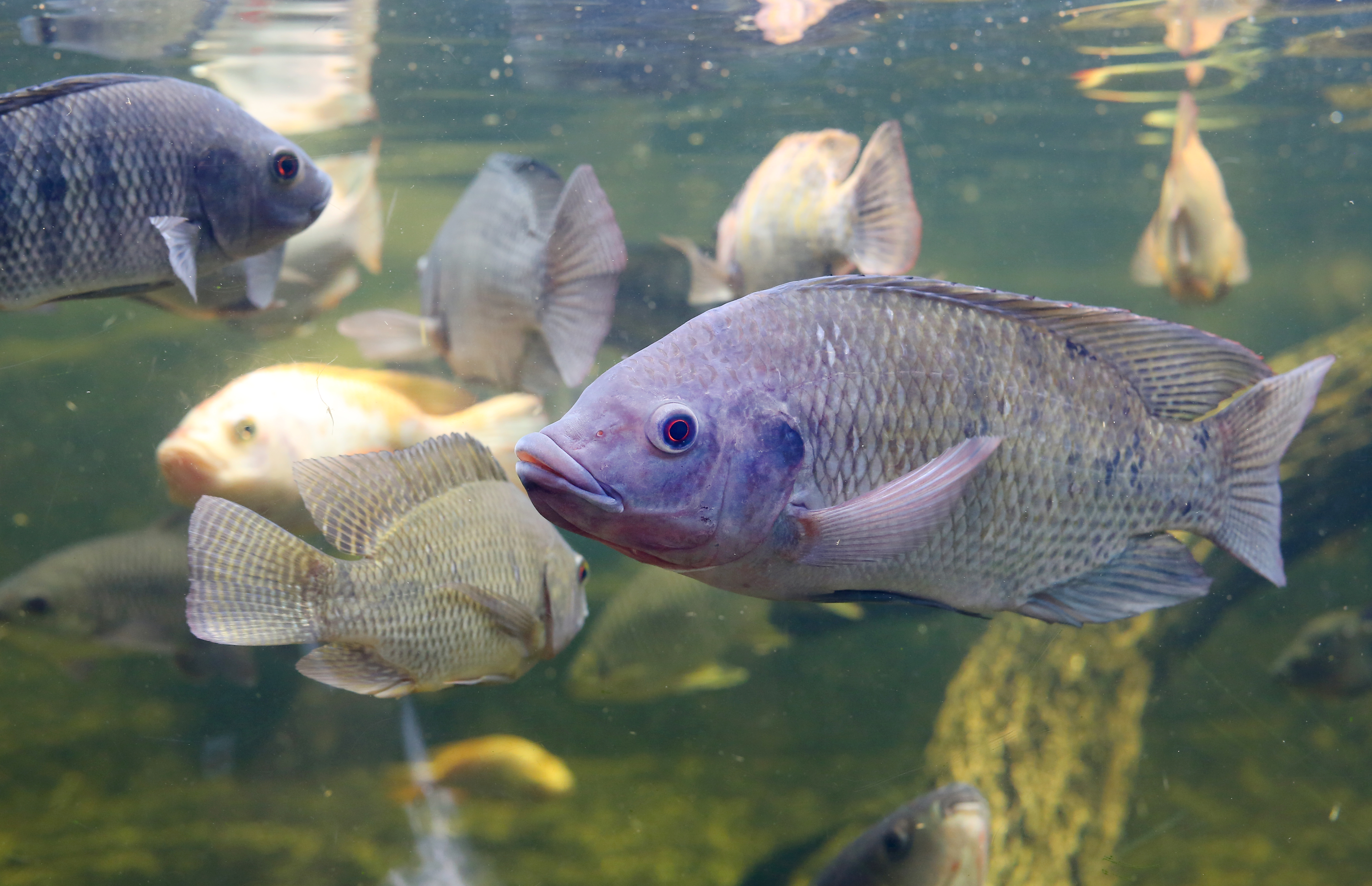Current Knowledge About Fumonisins In Aquaculture, Report From Biomin