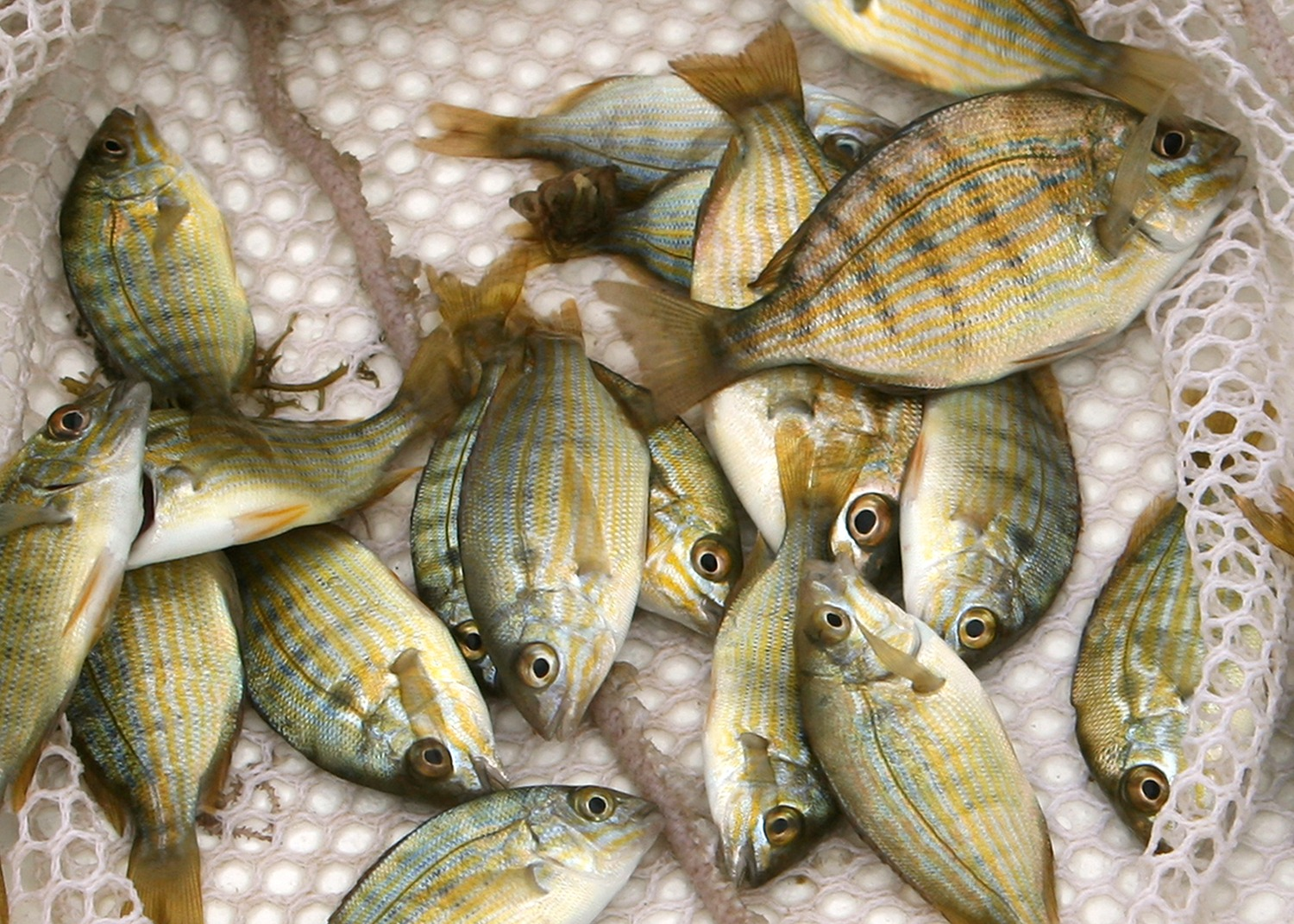 Some Bait Fish In A Net /Please See My Lightbox With Similar Photos: