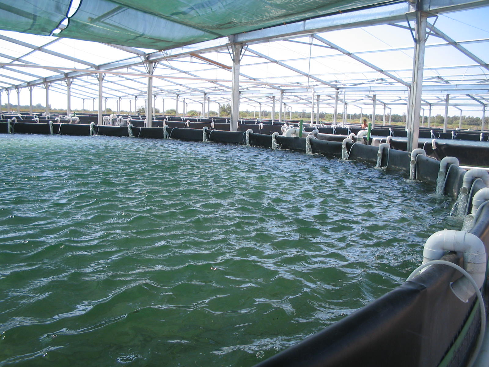 Study Backs Biofloc Benefits In Shrimp Production